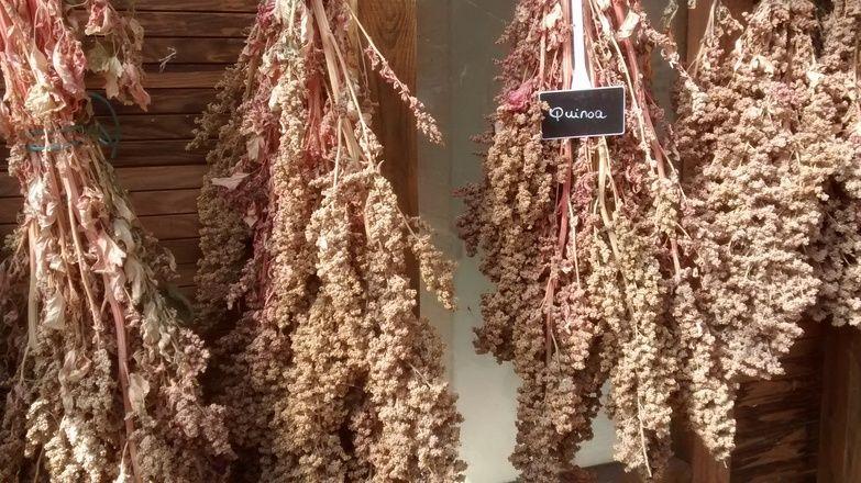 granos de quinoa secando