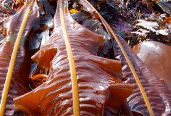 alga comestible alaria